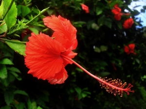 1339147_red_hibiscus
